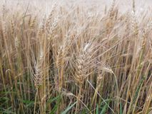 Cereal maduro en el campo imágenes de archivo libres de regalías