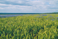 Cereal meadow in Latvia. Royalty Free Stock Photo