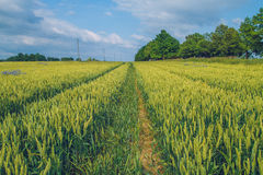 Cereal meadow in Latvia. Royalty Free Stock Photography