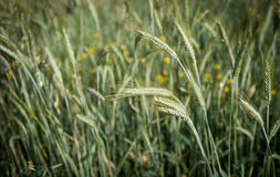 Cereal plant Stock Photography