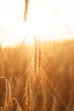 Cereal plant Royalty Free Stock Images