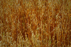 Cereal Plant Stock Images