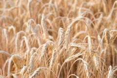 Cereal Plants, Barley. Royalty Free Stock Image