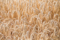 Cereal Plants, Barley Royalty Free Stock Photography
