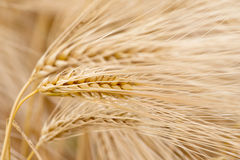 Cereal Plants, Barley, with different focus Royalty Free Stock Images