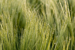 Cereal Plants, Barley, with different focus Stock Photo