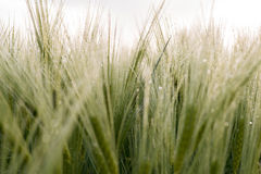 Cereal Plants, Barley, with different focus Stock Image