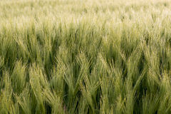 Cereal Plants, Barley, with different focus Royalty Free Stock Image
