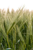 Cereal Plants, Barley, with different focus Royalty Free Stock Photos
