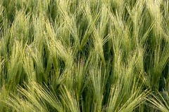 Cereal Plants, Barley, with different focus Stock Photography