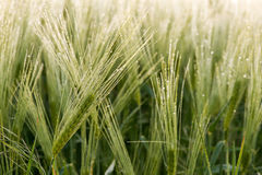 Cereal Plants, Barley, with different focus Stock Images