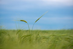 Cereal Plants, Barley, with different focus Royalty Free Stock Photography