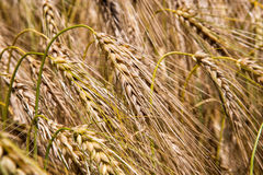 Cereal Plants, Barley, with different focus. Royalty Free Stock Image