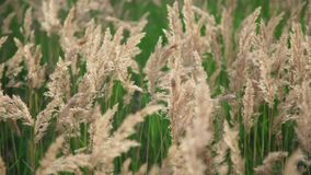 Cereal plants close-up: Field with grass and ear rye, wheat or other. Summer plants with spikelet in the wind, close-up. Field with grass and ears rye, wheat or stock video footage
