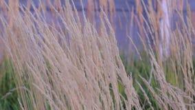 Cereal plants sway in the wind. Golden ears. Rural scene stock video footage