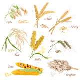 Cereal Plants vector icons illustrations. Oats wheat barley rye millet rice sorghum corn set. Royalty Free Stock Photo
