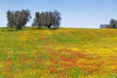 Cereal and poppies meadow in sunny day Stock Images