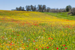 Cereal and poppies meadow in sunny day Royalty Free Stock Photos