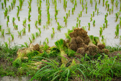 Cereal with rice green plant field on background Stock Photo