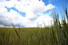 Cereal rye field Stock Photography