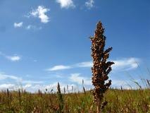 Cereal Sorghum, Sorgo plantation farming. Sorghum Sorgo plantation cereal cultivated in Guarico State Venezuela. Sorgo or sorghum field and blue sky Stock Photo