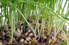 Cereal verde isolado Fotografia de Stock Royalty Free