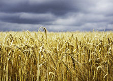 Cereal Wheat crop ready to harvest. Cereal crop in the golden sunshine ready to be harvested Stock Photography