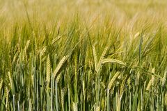 Cereal Wheat field in the sunset light Royalty Free Stock Images