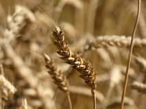 Cereal, Wheat Triticum Ear. Crop field in harvest time in the summer. Cereal ear view Stock Image