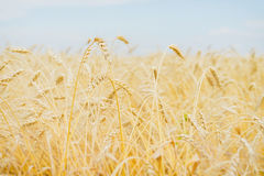 Cereal yellow ears in a hot, sultry summer afternoon against a cloudless light-blue sky. Rural background. Stock Photo