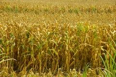 Cereale asciutto Immagini Stock Libere da Diritti