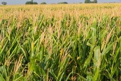 Cereale, campo di cereale Fotografia Stock
