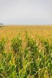 Cereale, campo di cereale Immagine Stock