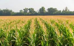 Cereale, campo di cereale Fotografie Stock Libere da Diritti
