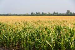 Cereale, campo di cereale Fotografie Stock
