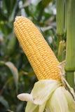 Cereale che cresce nell'azienda agricola di agricoltura della pianta del campo pronta per il raccolto Fotografia Stock
