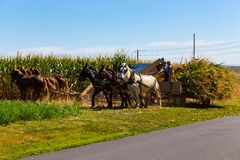Cereale che raccoglie dagli agricoltori di Amish Immagini Stock