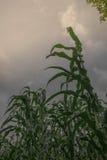 Cereale che scala al cielo Fotografia Stock Libera da Diritti