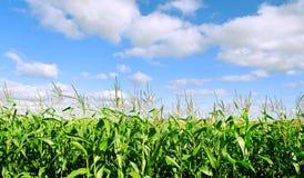 Cereale crescente. Fotografia Stock Libera da Diritti