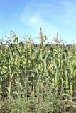 Cereale crescente Fotografia Stock Libera da Diritti