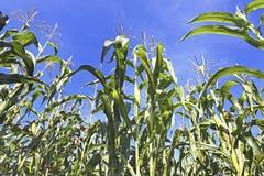 Cereale crescente Immagine Stock Libera da Diritti