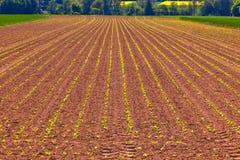 Cereale crescente verde nel campo Fotografie Stock