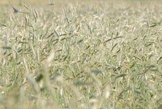 Cereale de sécale Photographie stock