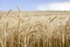 Cereale del grano che coltiva agricoltura Fotografia Stock Libera da Diritti