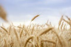 Cereale del grano che coltiva agricoltura Immagini Stock
