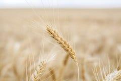 Cereale del grano che coltiva agricoltura Immagine Stock
