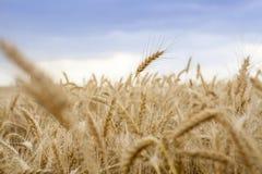 Cereale del grano che coltiva agricoltura Immagine Stock Libera da Diritti