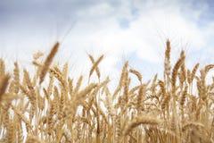 Cereale del grano che coltiva agricoltura Fotografia Stock