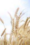 Cereale del grano che coltiva agricoltura Fotografie Stock