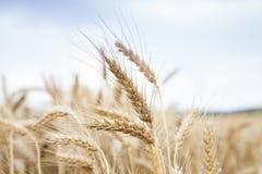 Cereale del grano che coltiva agricoltura Fotografie Stock Libere da Diritti